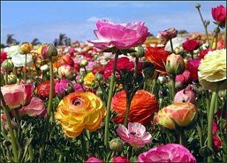 Flowers 101: Ranunculus
